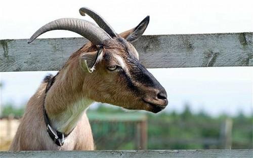 23364_goat_1966843b